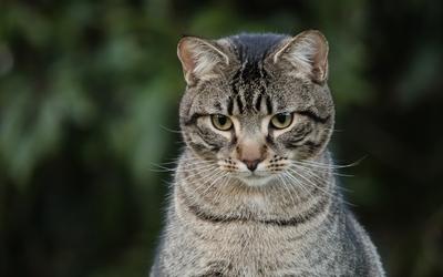Attentive tabby cat wallpaper