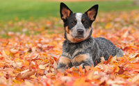 Australian Cattle Dog [2] wallpaper 1920x1200 jpg