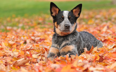 Australian Cattle Dog [2] wallpaper