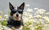Australian Cattle Dog [3] wallpaper 1920x1200 jpg