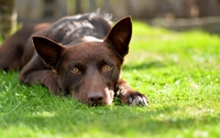 Australian Kelpie resting on the grass wallpaper 1920x1200 jpg