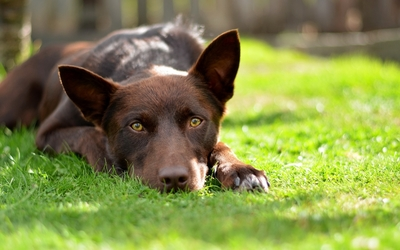 Australian Kelpie resting on the grass wallpaper