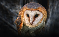 Australian Masked Owl wallpaper 2560x1600 jpg