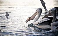 Australian pelicans wallpaper 1920x1200 jpg