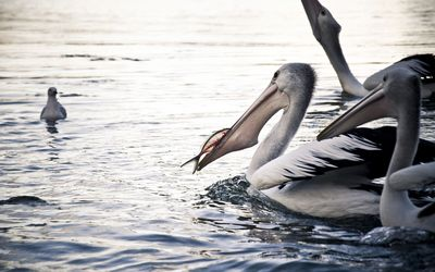 Australian pelicans wallpaper
