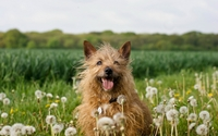 Australian Silky Terrier wallpaper 1920x1200 jpg