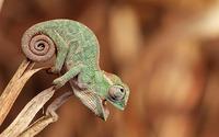 Baby chameleon wallpaper 1920x1200 jpg