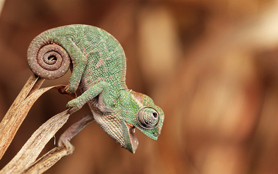 Baby chameleon wallpaper