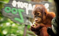 Baby Orangutan wallpaper 2560x1600 jpg
