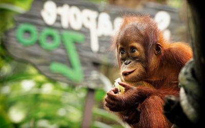 Baby Orangutan wallpaper