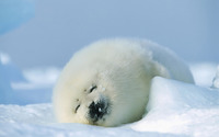 Baby seal wallpaper 1920x1200 jpg