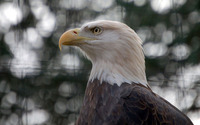 Bald eagle [3] wallpaper 1920x1200 jpg