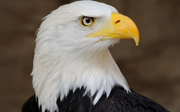 Bald eagle [2] wallpaper 1920x1200 jpg