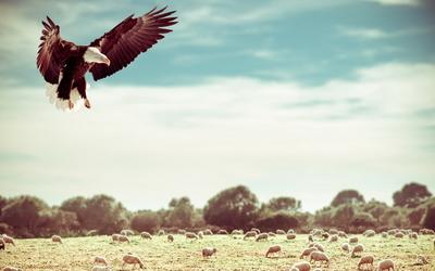 Bald eagle [4] wallpaper
