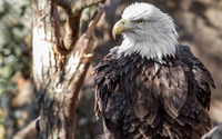 Bald eagle [6] wallpaper 2560x1440 jpg