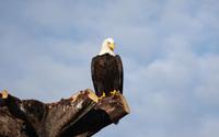 Bald eagle wallpaper 2560x1600 jpg
