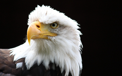 Bald eagle close-up wallpaper