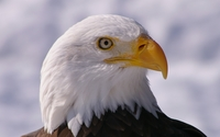 Bald eagle close-up from a side wallpaper 2560x1440 jpg