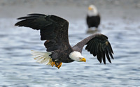 Bald Eagle flying above the water wallpaper 2880x1800 jpg