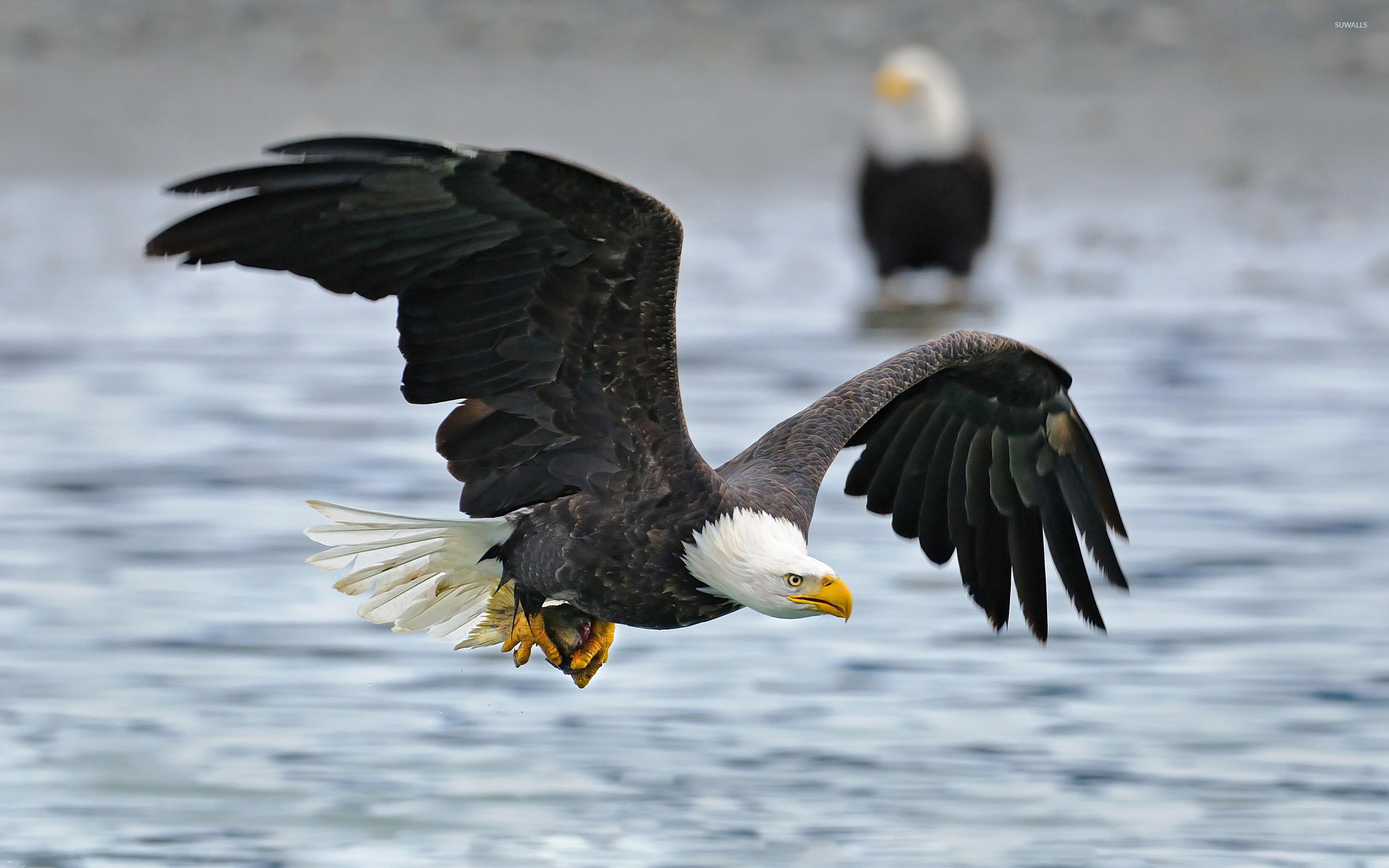 Bald Eagle flying abov...