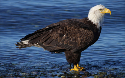 Bald eagle in the water wallpaper