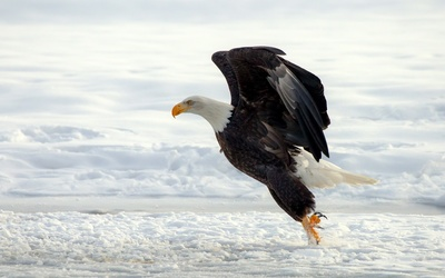 Bald Eagle landing in the snow wallpaper