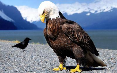 Bald Eagle on the rocks wallpaper