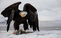 Bald eagle protecting its food wallpaper 1920x1200 jpg