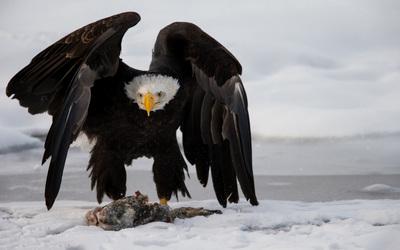 Bald eagle protecting its food wallpaper