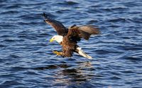 Bald eagle trying to fish wallpaper 1920x1080 jpg