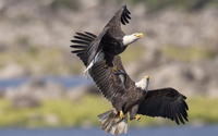 Bald eagle with a fish in its claws wallpaper 1920x1200 jpg