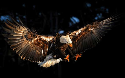 Bald eagle with wings spread wallpaper
