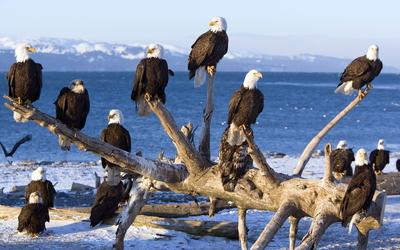 Bald eagles wallpaper