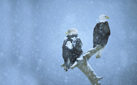 Bald eagles in the snow wallpaper 1920x1200 jpg