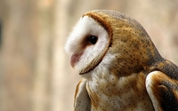 Barn Owl wallpaper 1920x1200 jpg