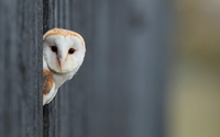 Barn Owl hiding behind the wooden fence wallpaper 1920x1200 jpg