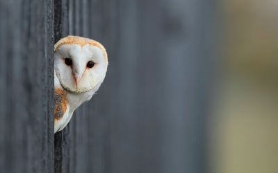 Barn Owl hiding behind the wooden fence wallpaper