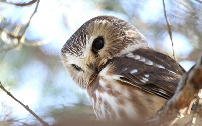 Barred Owl [2] wallpaper
