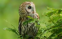 Barred Owl [3] wallpaper 1920x1200 jpg