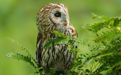 Barred Owl [3] wallpaper