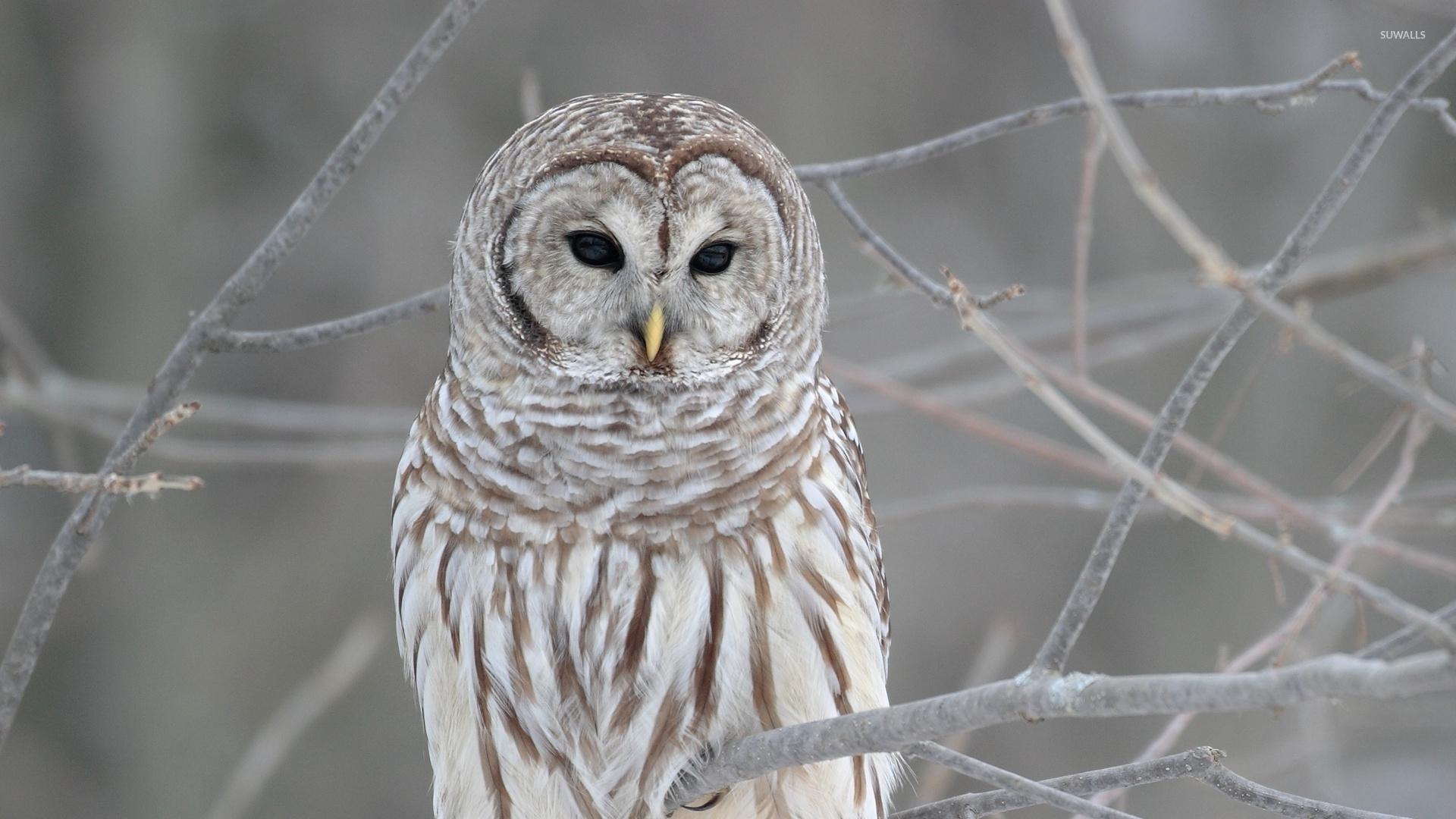 White owl Wallpaper Birds Animals (71 Wallpapers ...