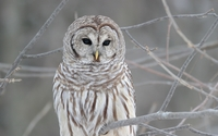 Barred Owl wallpaper 1920x1080 jpg