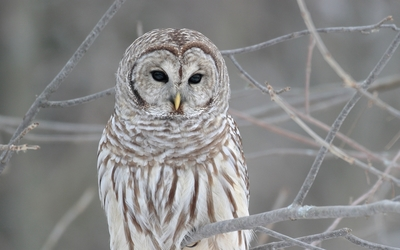 Barred Owl wallpaper