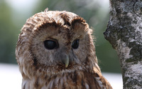 Barred Owl [6] wallpaper 2560x1600 jpg
