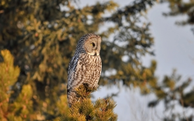 Barred Owl on top of a pine tree wallpaper
