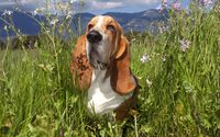 Basset Hound gazing at the sun wallpaper 1920x1080 jpg