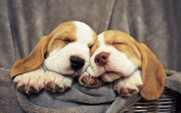 Basset Hound puppies wallpaper 1920x1200 jpg