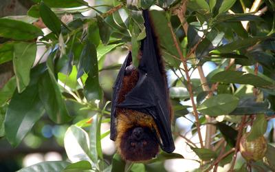 Bat wallpaper