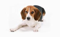 Beagle wallpaper 2880x1800 jpg