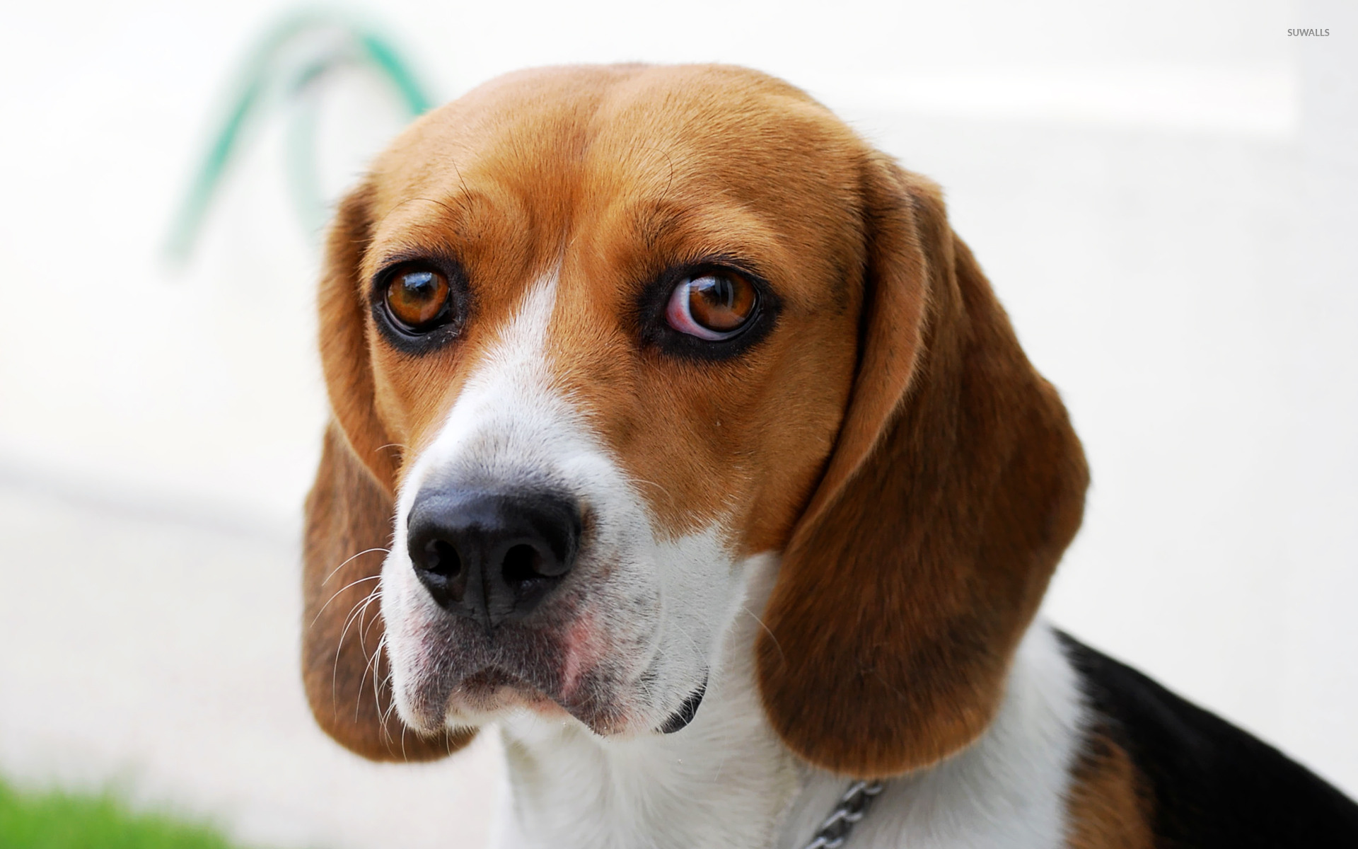 Free beagle wallpapers